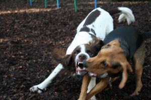 851386 Dogs Play Fighting 2